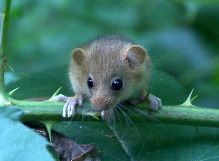Cairo / Egyptian spiny mouse (Acomys cahirinus: Muridae) in desert ...