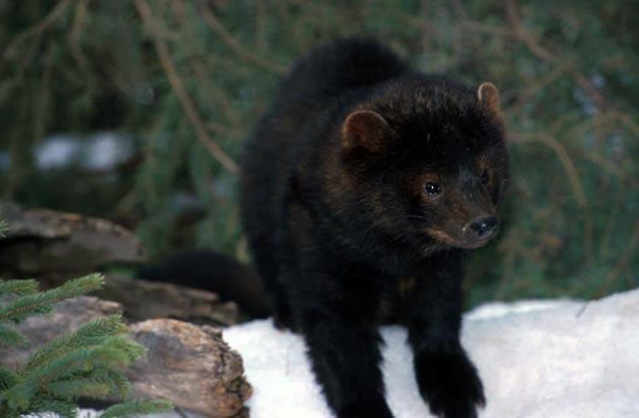 New Hampshire Mammals | Wildlife Journal Junior