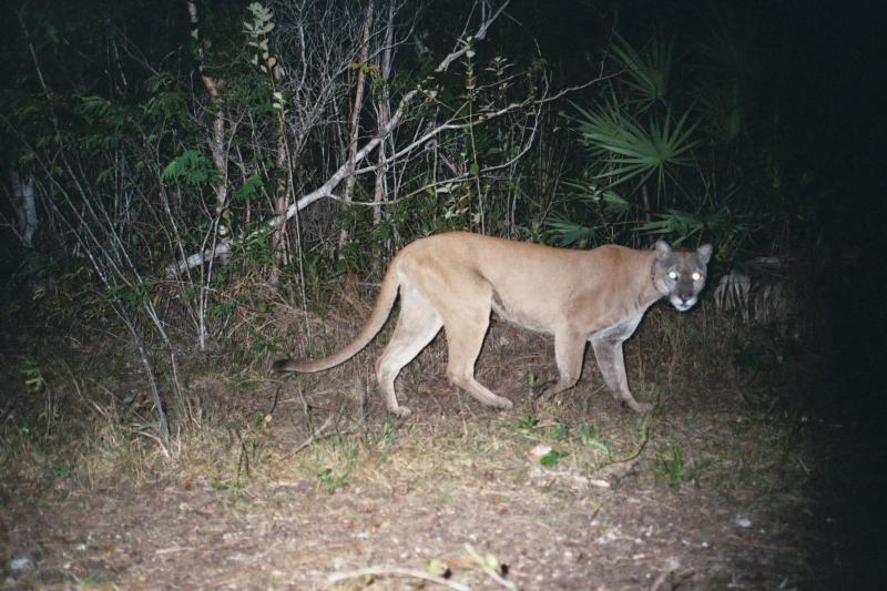 Florida Panther - Puma concolor coryi - NatureWorks