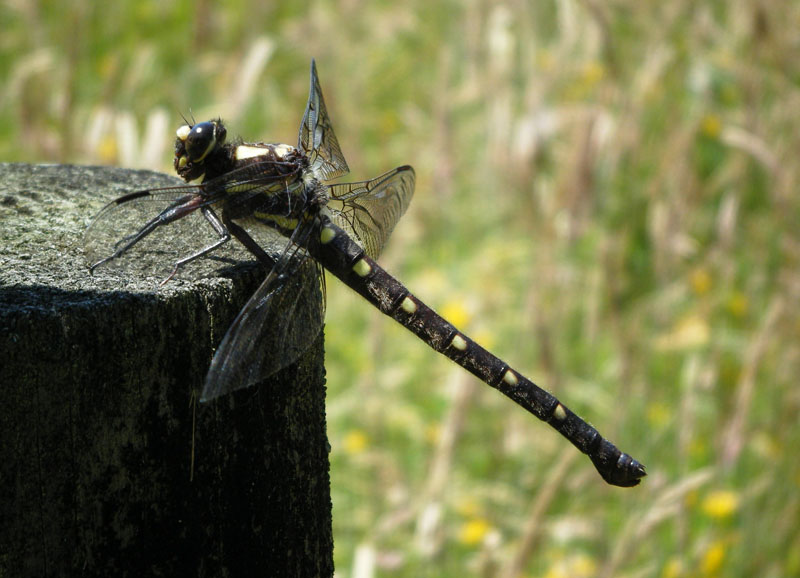 Giant dragonfly - photo#10