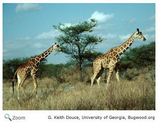 Giraffidae Giraffes Okapis Wildlife Journal Junior