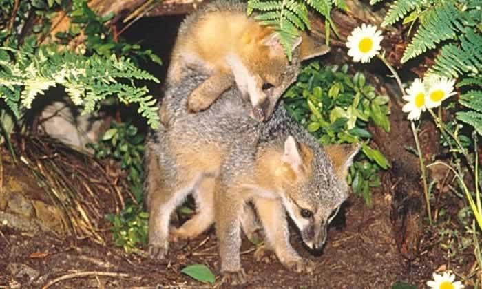 Gray fox habitat - photo#27
