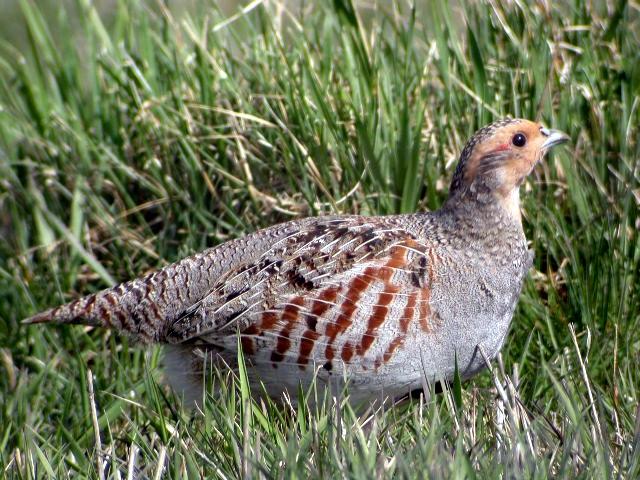 Gray Partridge - Perdix perdix - NatureWorks