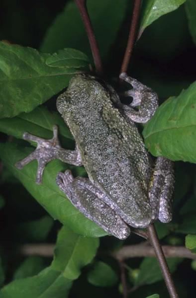 Gray Treefrog Hyla Versicolor Wildlife Journal Junior