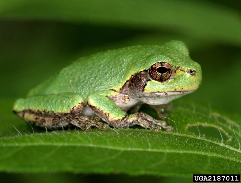Gray tree frog - photo#22