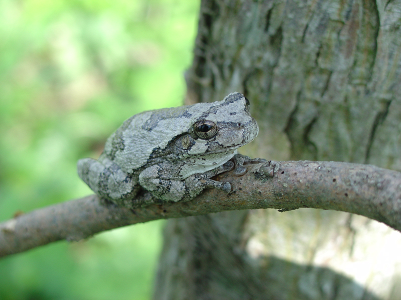 Gray tree frog - photo#5