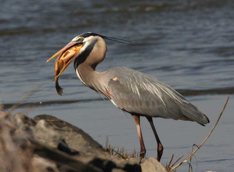 What Food Does A Great Blue Heron Eat