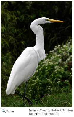 The great egret feeds alone in shallow water. It stalks prey like frogs, crayfish, snakes, snails and fish.