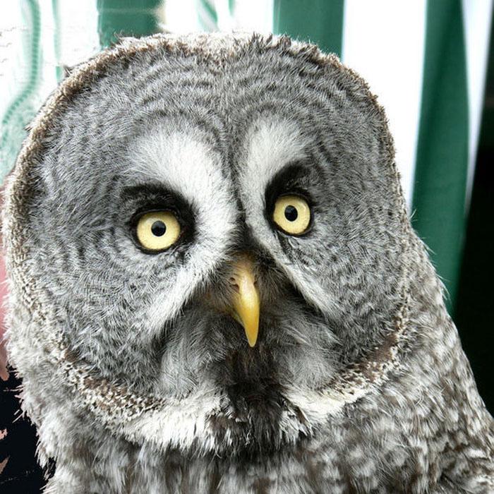 Great Gray Owl - Strix nebulosa | Wildlife Journal Junior