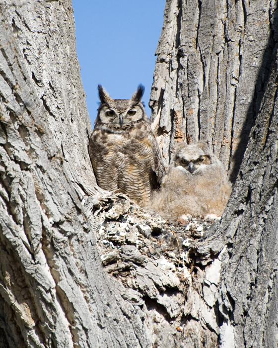 Great Horned Owl Habitat