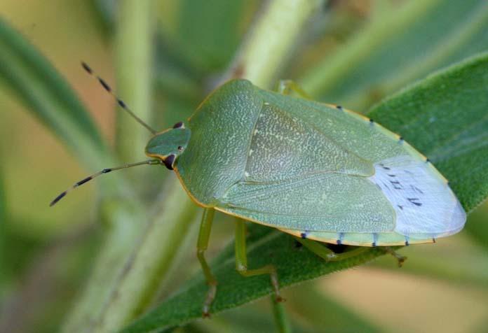 greenstinkbug.jpg