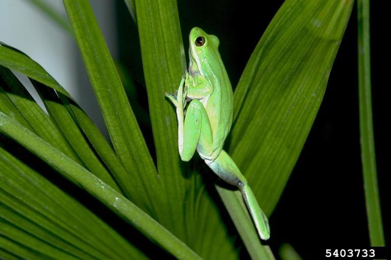 green treefrog hyla cinerea natureworks