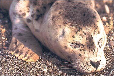 Harbor Seal Phoca Vitulina Wildlife Journal Junior