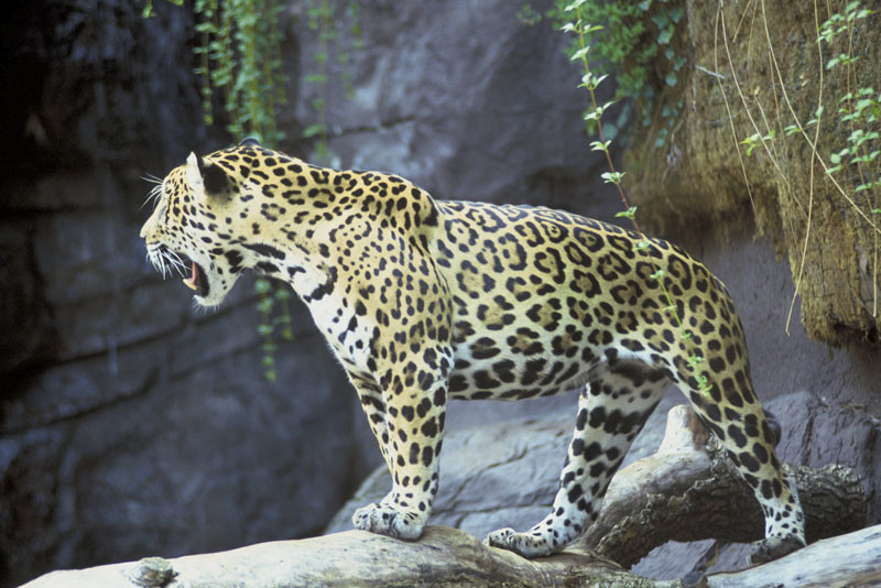 Jaguar   Panthera Onca   NatureWorks