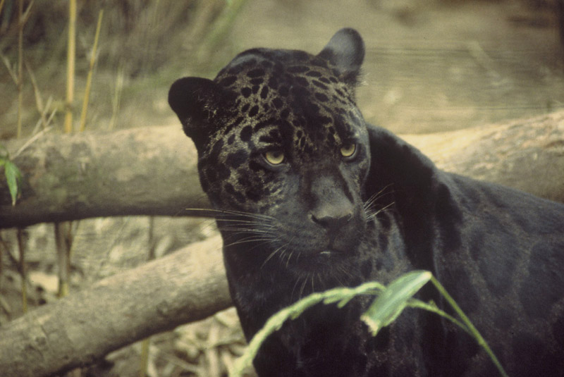 jaguar panthera onca natureworks