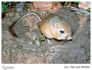 Heteromyidae - kangaroo rats, pocket mice | Wildlife ...