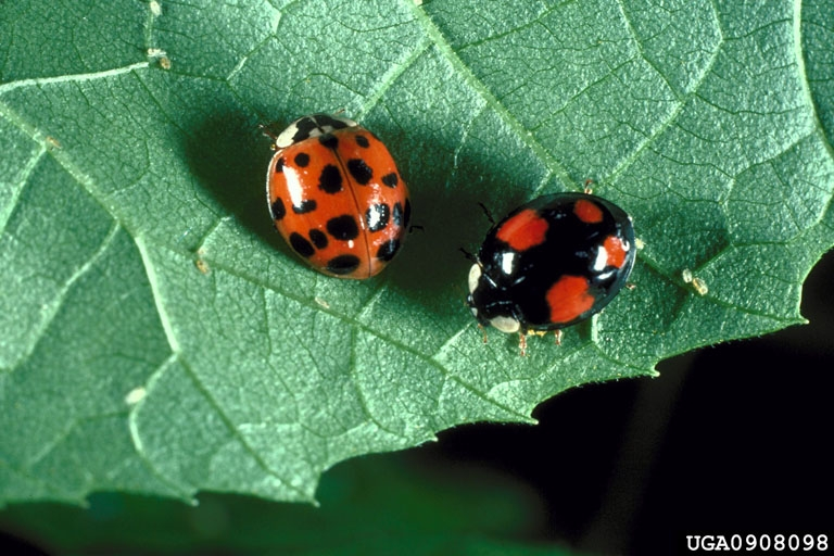 Consider, that predators of the asian lady beetle can