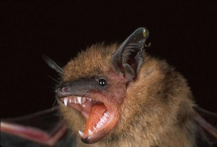 Little brown bat - photo#11