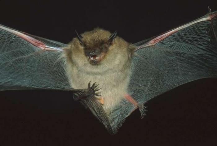 Little brown bat - photo#28