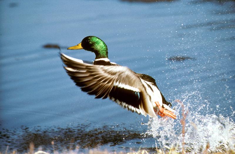 migratory behavior of mallard ducks essay Most prolonged autumn migration of any duck species generally no sharp peaks   sudden severe storm forces mass migration (see migratory behavior, below.