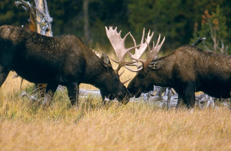 moose little live petsmoose перевод, moose racing, moose blood, moose on, moose plural, moose jaw, moose little live pets, moose test, moose транскрипция, moose and squirrel, moose toys, moose tna, moose perl, moose man, moose logo, moose the mooche, moose elk, moose shopkins, moose house, moose coffee