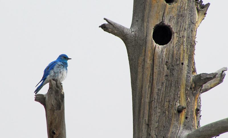Mountain Bluebird - Sialia currucoides | Wildlife Journal Junior