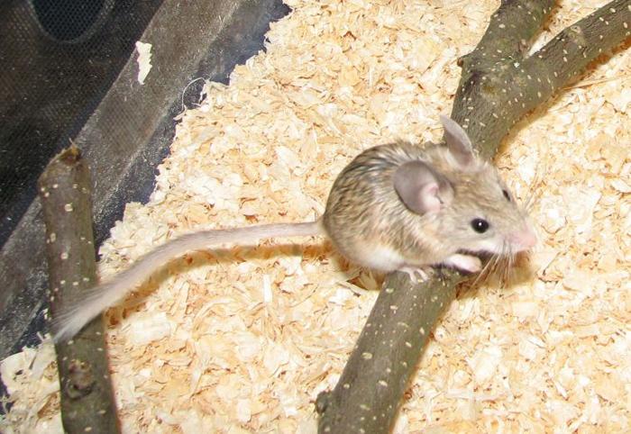 Hamsters With Big Eyes Soft Silky Fur Big Eyes