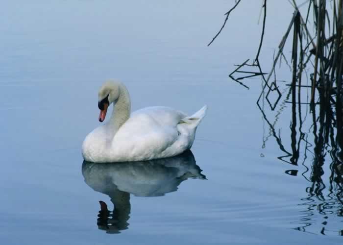 mute swan cygnus olor wildlife journal junior