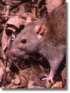 Free Images : mouse, animal, wild, fur, mammal, hamster, rodent ...
