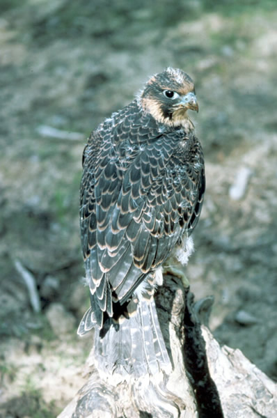 an analysis of the peregrine falcon bird falconiformes Peregrine falcon, falco peregrinus minor recording av#12252 south africa: cape of good hope nature reserve (-34357, 18498) recorded by pamela c rasmussen.