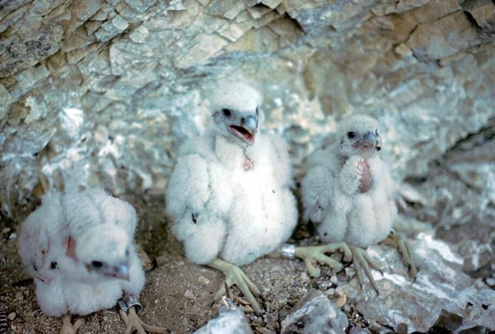 peregrine falcon diving. peregrine falcon can dive