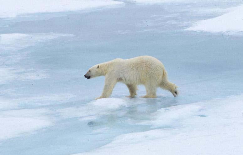 Hairless Polar Bear Although the polar bear is