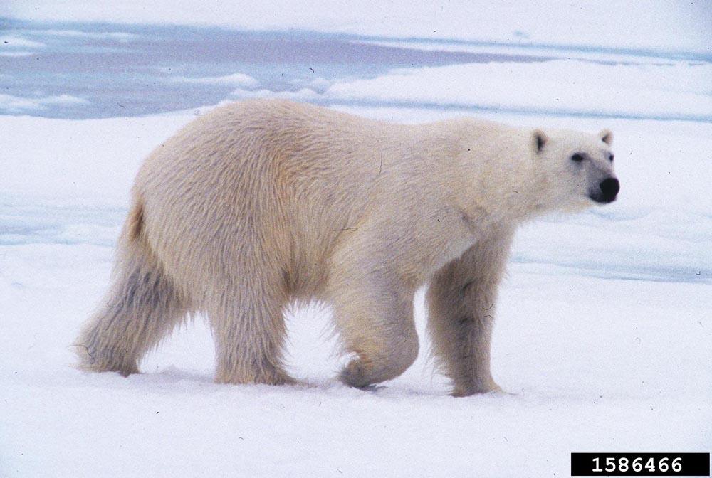 Polar Bear Ursus Maritimus Natureworks