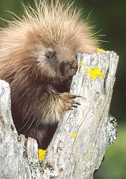 North American Porcupine - Erethizon dorsatum | Wildlife ...  North American ...