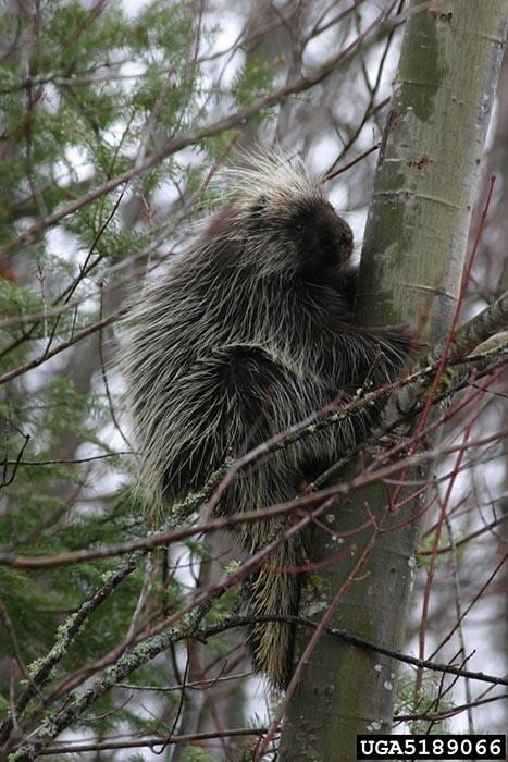 North American Porcupine - Erethizon dorsatum - NatureWorks  North American ...