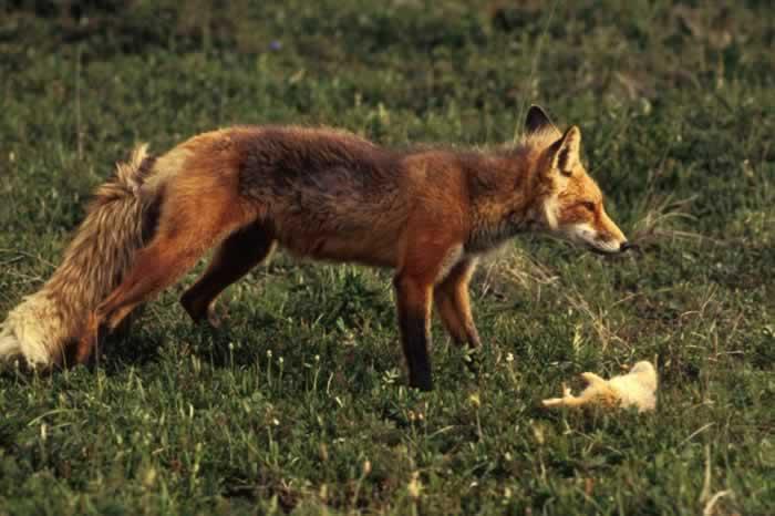 Red fox diet - photo#4
