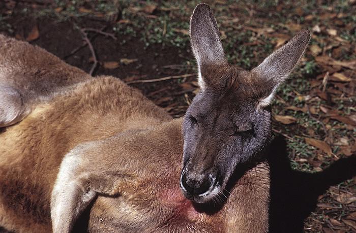Macropodidae Kangaroos Wallabies Wildlife Journal Junior