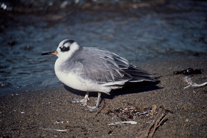 Red Phalarope Winter During The Winter The Red