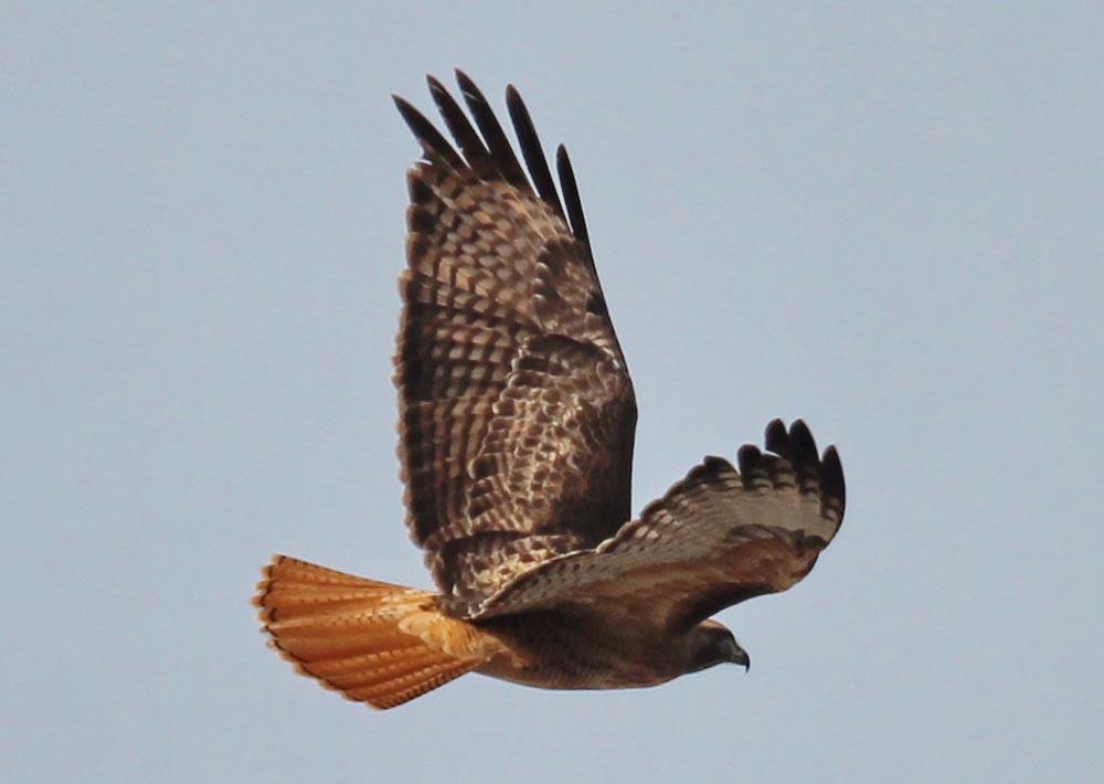 red tailed hawk buteo jamaicensis natureworks