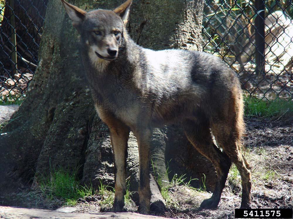 characteristics of canis rufus red wolf Start studying mammalogy lab 7 - carnivora learn vocabulary,  (characteristics)  canis rufus - red wolf.