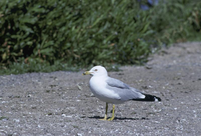 Female seagull - photo#39