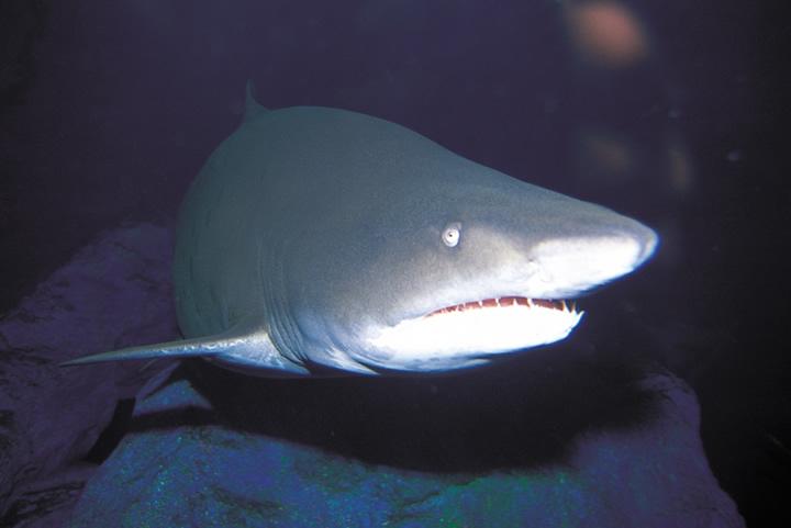 Chondrichthyes - Rays, Sharks, Skates, Chimaeras ...