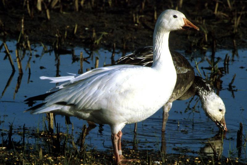 snow goose anser caerulescens wildlife journal junior