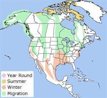 Snow Goose - Anser caerulescens | Wildlife Journal Junior