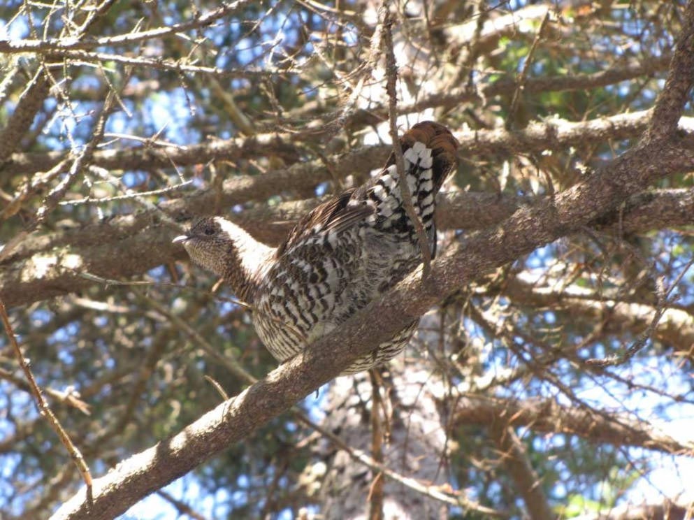 Spruce Grouse - Falcipennis canadensis - NatureWorks