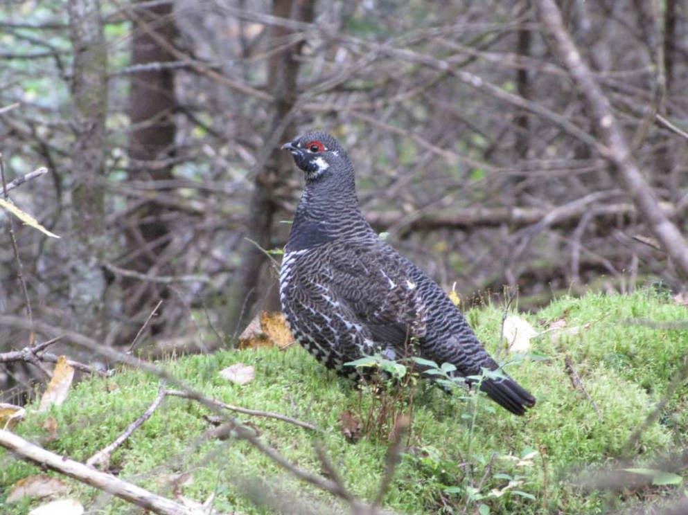 Spruce Grouse - Falcipennis canadensis | Wildlife Journal ...