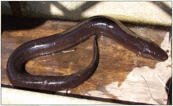 There are only three species in this family. Amphiuma are found in the ...