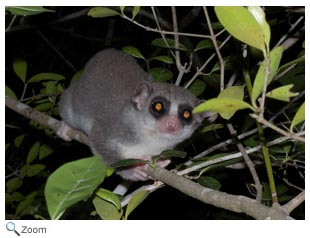 Pictures of hairy eared dwarf lemur