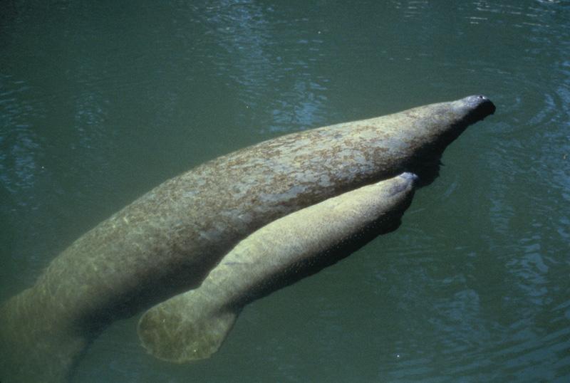 west indian manatee trichechus manatus natureworks