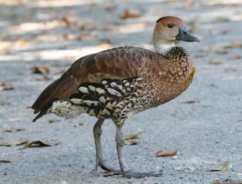 CUBAN BIRDS - ANSERIFORMES - Ducks, Geese, Swans| Wildlife Journal ...